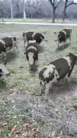 Polish Cow - Spark AR